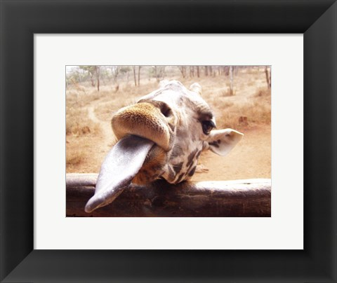 Framed Giraffe Sticking His Tongue Out Print