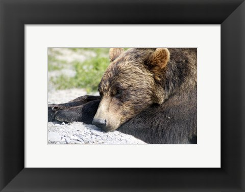 Framed Grizzly Bear Lying with His Head Down Print