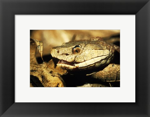 Framed Head of a Copperhead Snake Print