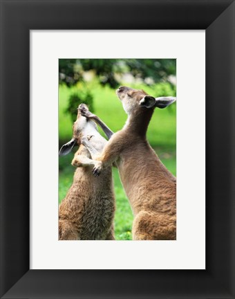 Framed Playful Kangaroos Print