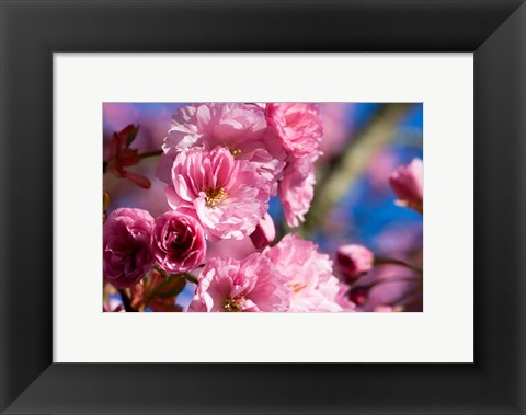 Framed Flowering Cherry Blossoms Print