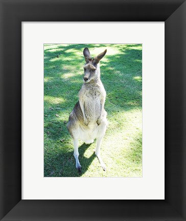 Framed Kangaroo In Field Print