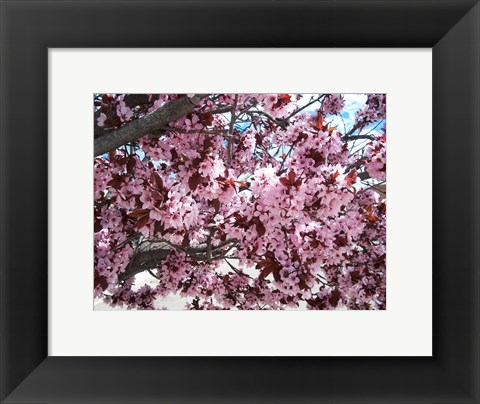 Framed Pink Cherry Blossoms Print