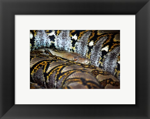 Framed Reticulated Python Print