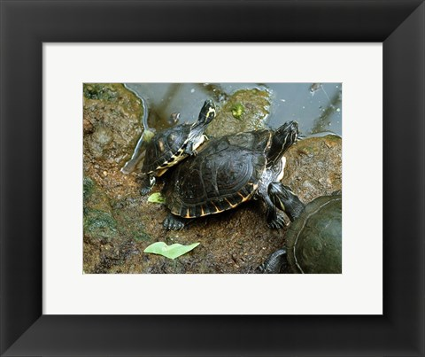 Framed Three Turtles Print