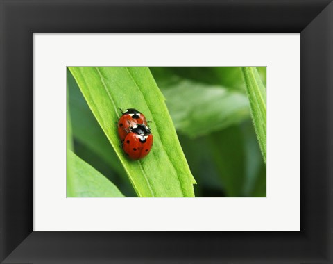 Framed Two Ladybugs Print