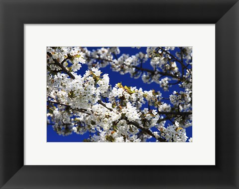 Framed White Cherry Blossom Branches Print