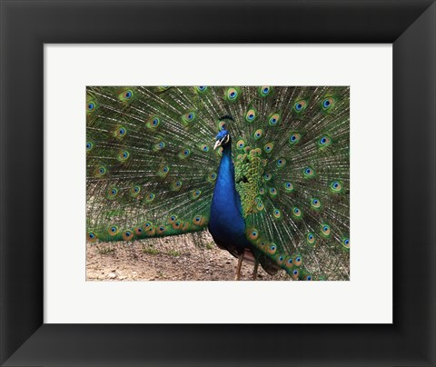Framed Peacock Showing off Its Feathers Print