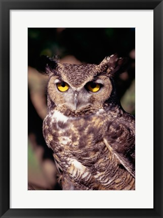 Framed Horned Owl Print