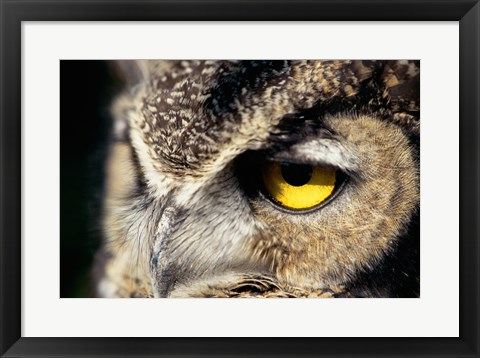 Framed Horned Owl Closeup Print