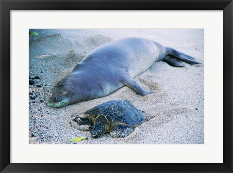 Framed Hawaiian Monk Seal with Green Turtle relaxing on the sand Print