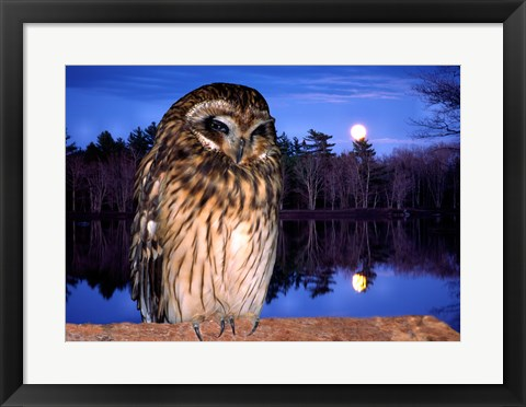 Framed Barred Owl perching on a log Print
