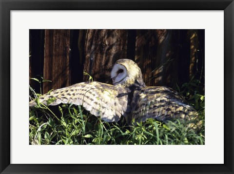 Framed Barn Owl Spreading Wings Print