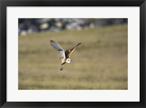 Framed Barn Owl Flying Over Field Print