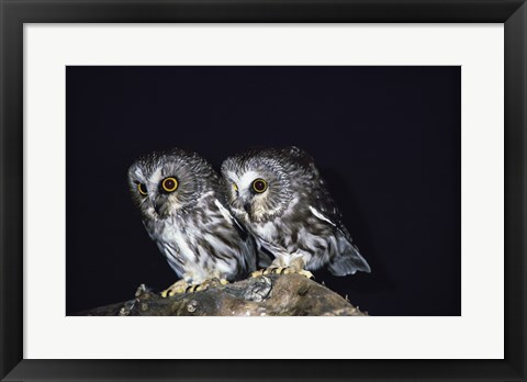 Framed Saw-whet Owls Print