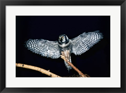 Framed Hawk Owl spreading its wings Print