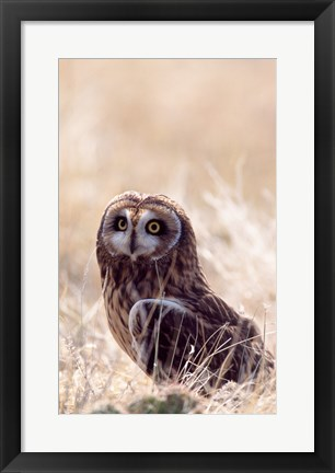 Framed Short-eared Owl Print