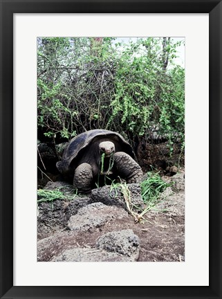 Framed Galapagos Giant Tortoise eating grass Print
