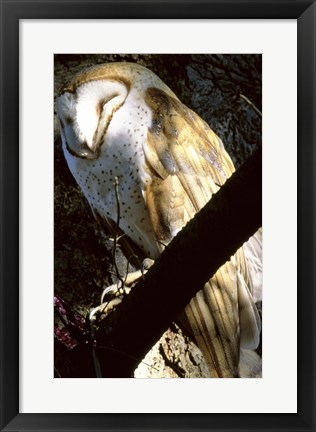 Framed Barn Owl Sleeping Print