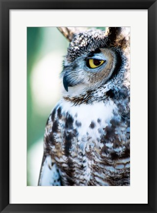Framed Great Horned Owl Looking Off Print