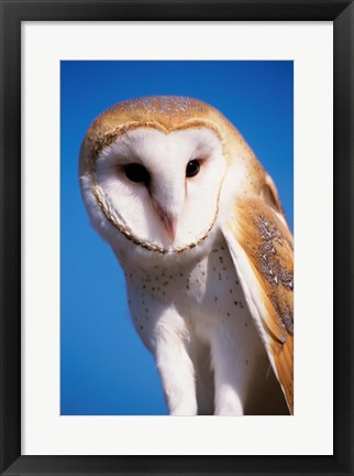 Framed Barn Owl Close Up Print