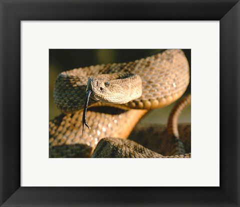 Framed Rattle Snake Print