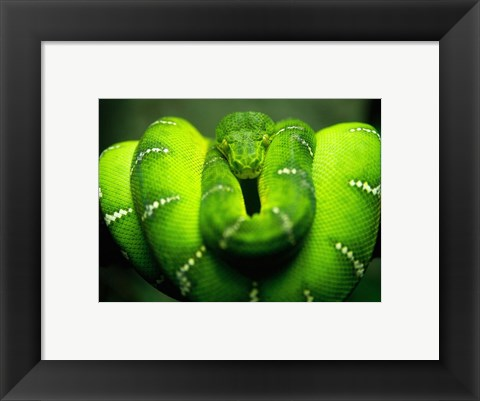 Framed Green Emerald Tree Python Snake Print