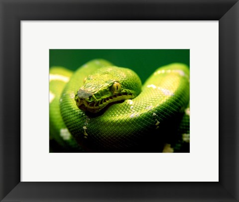 Framed Light Green Emerald Tree Boa Snake Print
