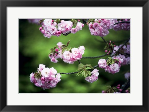 Framed Close-up of cherry blossoms, Nijo Castle, Kyoto, Japan Print