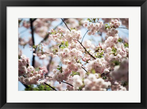 Framed Close-up of cherry blossoms, Ryoanji Temple, Kyoto, Japan Print