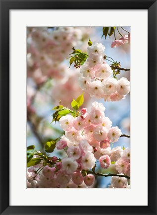 Framed Cherry blossom, close-up Print