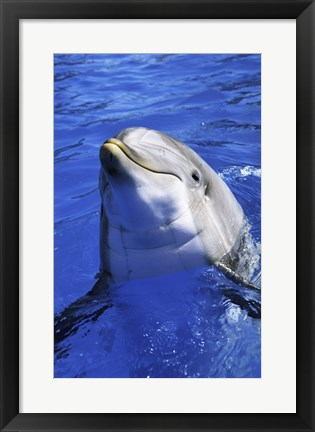 Framed Dolphin - head out of the water Print
