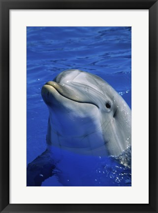 Framed Dolphins Sea World San Diego, California USA Print