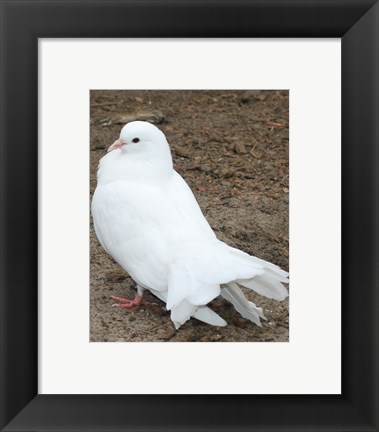 Framed Animal Farm  Dove Print