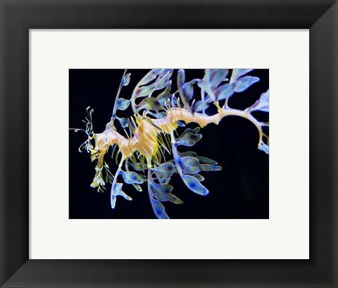 Framed Sea Horse underwater Print