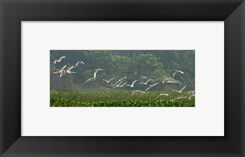 Framed Cattle Egrets Print