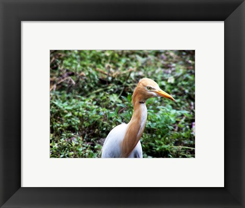 Framed Cattle Egret in Summer Print