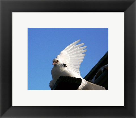 Framed Dove Print