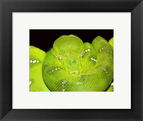 Framed Emerald Tree Boa Print
