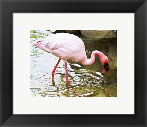 Framed Flamingo in River Print