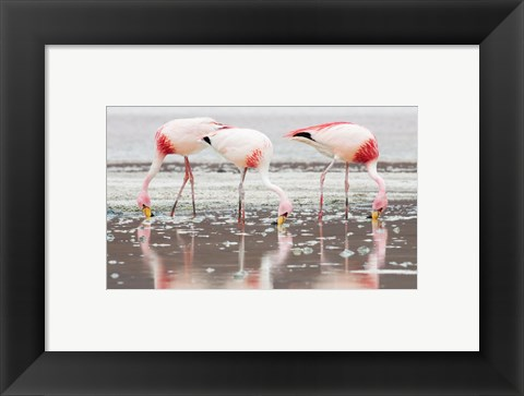 Framed Flamingos Searching for Food Print