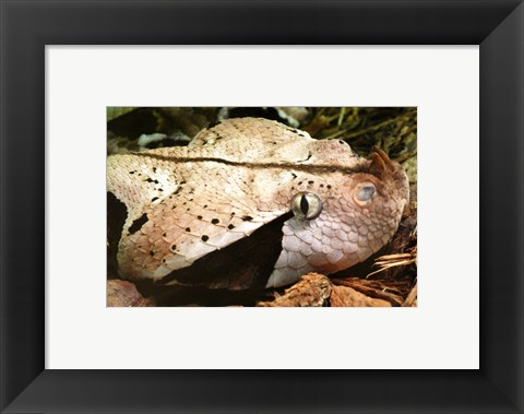 Framed Gabon Viper Head Print