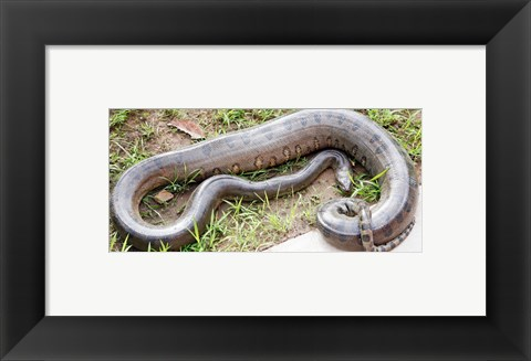 Framed Green Anaconda Print