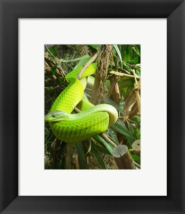 Framed Green Mamba Print