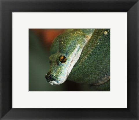 Framed Green Tree Python Print