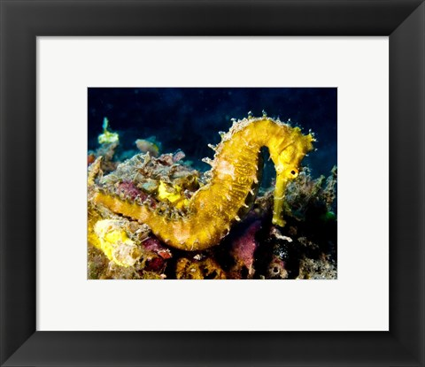 Framed Yellow Hippocampus Hystrix (Spiny Seahorse) Print