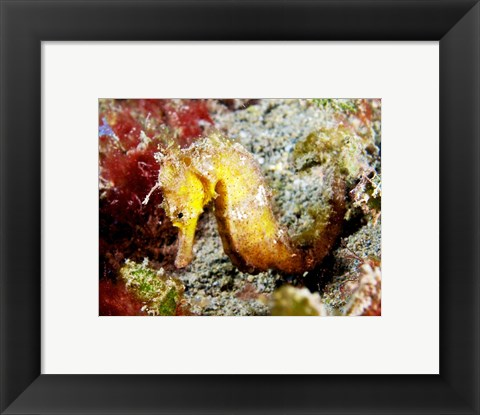 Framed Yellow Hippocampus Kuda (Estuary Seahorse) Print