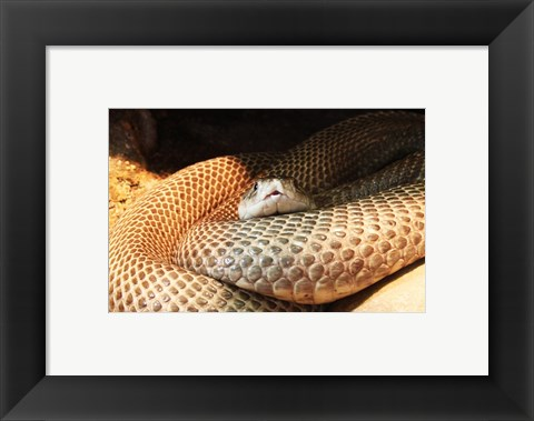 Framed Indian Cobra Coiled Up Print