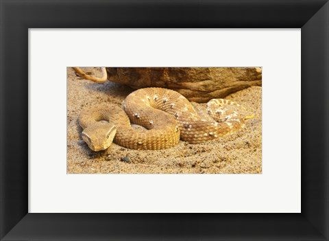 Framed Leaf Nosed Viper Print