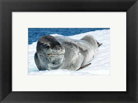 Framed Leopard Seals In Antarctica Print